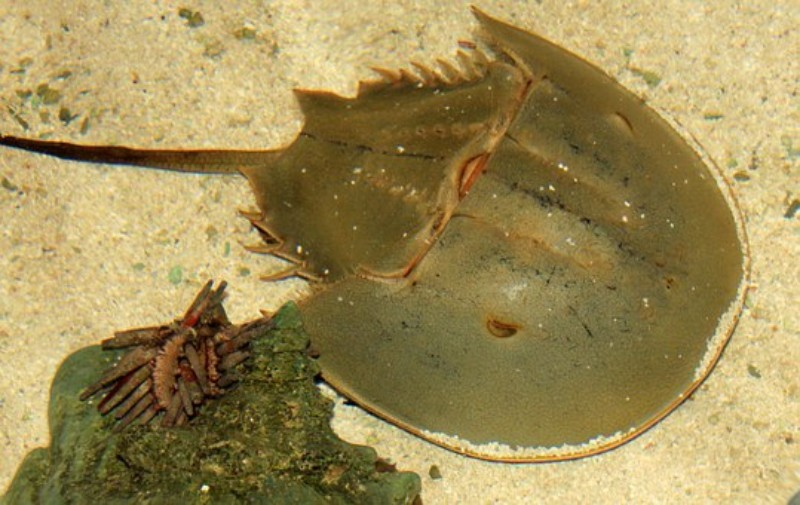 horseshoe-crab chatham cape cod